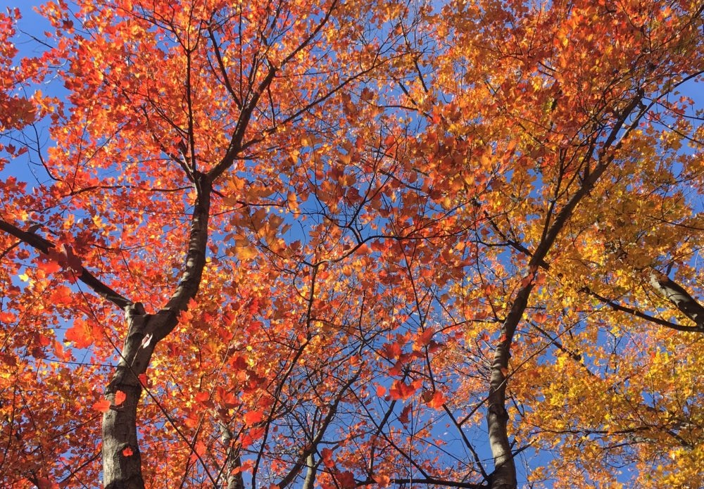 Red and gold trees